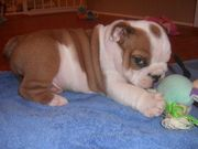 adorable bull dog puppy for sale