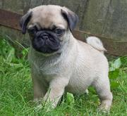 Adorable Pug Puppies for caring homes.