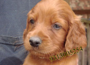 Irish Setter  puppies available at Poddarkennel(9313005254).,