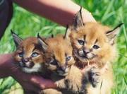 Caracal,  Serval , Cheetah and Savannah kittens available